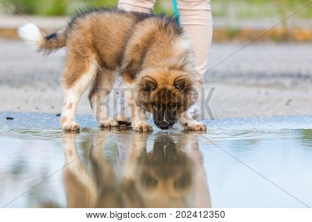 Woman With An Elo Puppy Stands Beside A Puddle