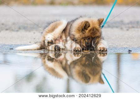 Elo Puppy At The Leash At A Puddle