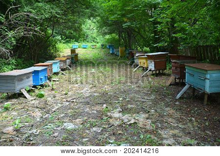 Bee Hives: Beekeeping. Swarm of honeybees coming and going around blue beehives in a bee farm. Apiculture beekeeping.