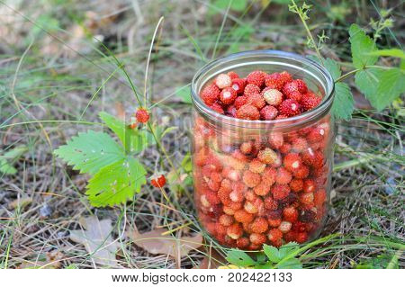 Fragaria vesca commonly called wild strawberry woodland strawberry Alpine strawberry or fraisier des bois in preserving glass. Gathering Strawberries Harvest.