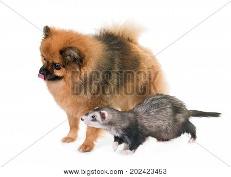 female ferret and spit in front of white background