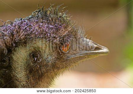 Emu Dromaius novaehollandiae - a bird of the order of cassowaries, the largest Australian bird. The second largest bird after an ostrich