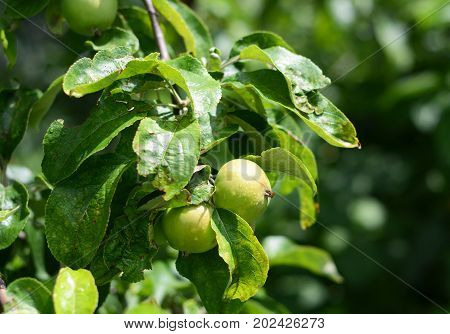Growing green unripe apples on tree branch.