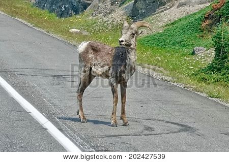 Jasper, Canada, A bighorn sheep stands on the road in Jasper, Canada.