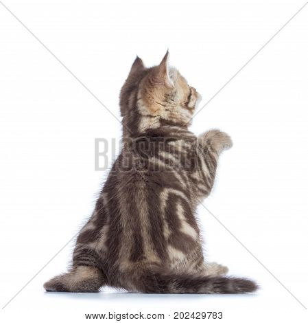Rear View Of Playful Tabby Cat Kitten Isolated On White