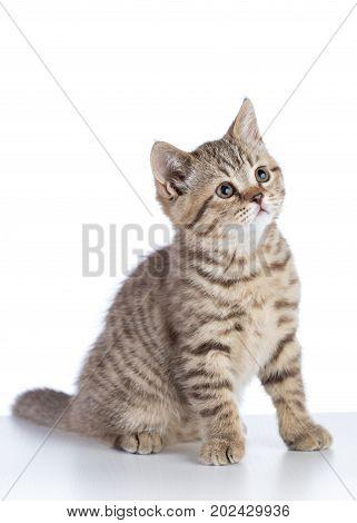 Cute Scottish Shorthair Kitten Cat Isolated On White Background