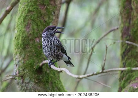 Nutcracker, Adult - Sitting In A Tree
