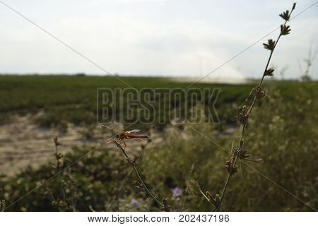 Dragon fly sitting on a flower bud with a cotton field in background picture from the North of Greece.