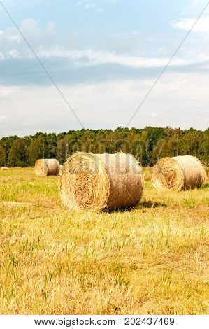Many yellow straw bales/rolls on stubble field after harvesting. Harvest time scenery. Vibrant multicolored vertical outdoors image.