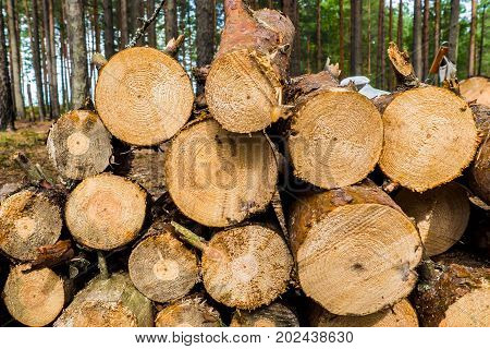 Severed tree trunks. The texture of cut wood. Hiking fuel for camping. Natural chopped wood.