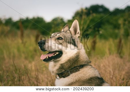 Pictures of grey wolf dog,russian hunting dog , west siberian laika posing in fields