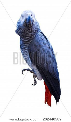 Parrot. African Grey Parrot. Parrot Jaco. parrot isolated