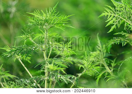 Ragweed-Ambrosia artemisiifolia allergy. Green grass in Russia