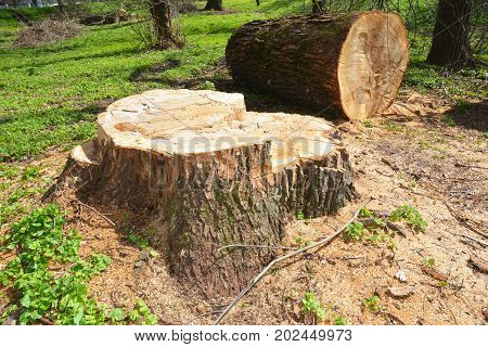 Tree Cutting Photo. Felled tree. Deforestation concept and when a tree falls in a forest that is being cut down for development as an icon for environmental damage.