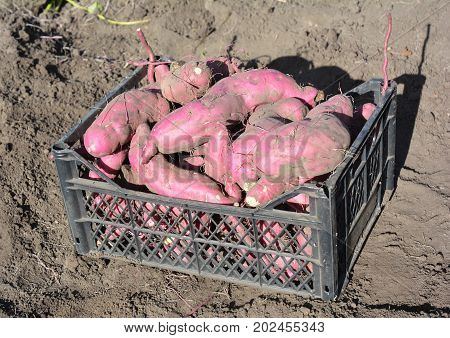 The sweet potato or kumara (Ipomoea batatas) harvest.