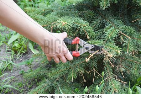 Gardener hand cut tree branch with bypass secateurs after Sun scald on evergreen tree. Pruning Blue spruce.