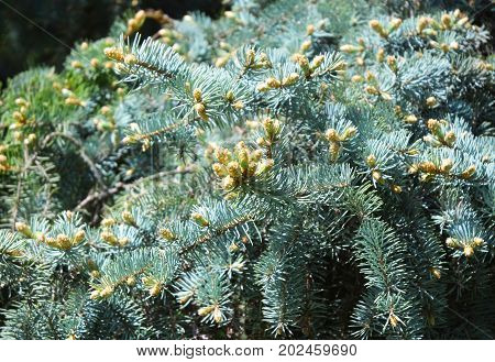 Blue spruce branches as a textured background. Blue spruce white spruce Colorado spruce