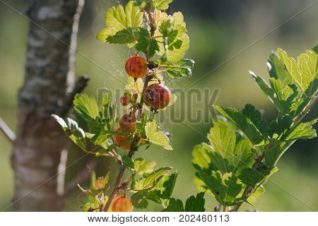 Fresh red gooseberries on a branch of gooseberry bush. Photo in the daytime.