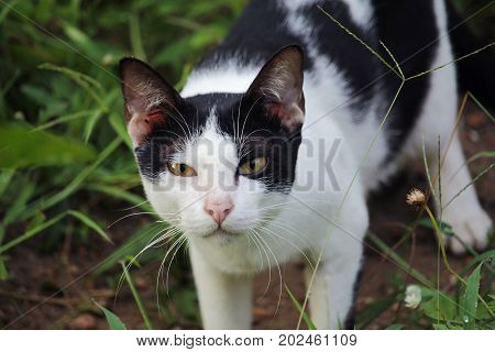 Close up of Thai Cat in grass outdoors