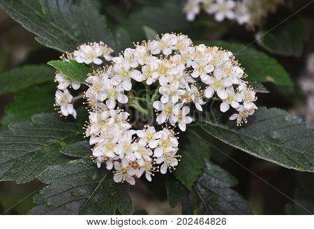 Lesser Whitebeam (sorbus Minima)