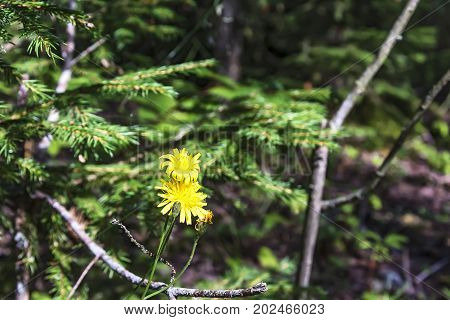 Two yellow flowers of the Hawk a perennial herbaceous plant of the family of astrov