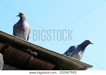 Two Doves On A Wooden Roof, View From Below