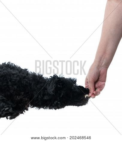 Isolated humorous image of a black poodle dog leaping for a treat held by female hand