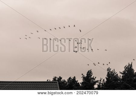 A beautiful formation of a migratory birds in autumn. Cranes flying to the south in fall. Monochrome photograph.