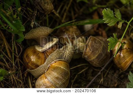 A beautiful lot of live burgundy snails in the forest. Natural scenery with snails.