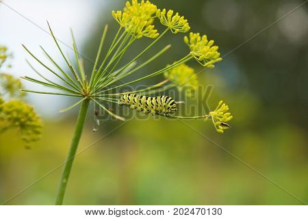 A caterpillar of a papilio machaon butterfly sitting on a dill flower. Macro close-up photo.