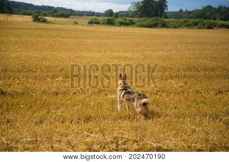 A friendly wolf like hunting dog enjoying free time in the field. Dog walk in the countruside.