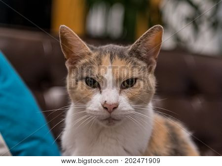 Grumpy Old Cat Stares at Camera on leather couch