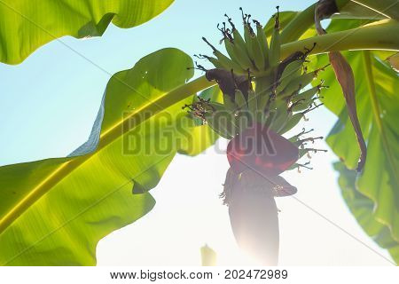 Banana blossom.Banana flower hanging on banana tree with green bananas in Thailand / Shallow depth of field with sunlight solar lens flare