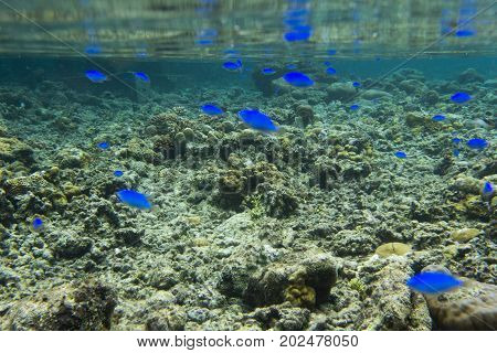 blue fishes and corals in Indonesia sea