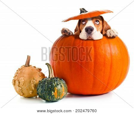 Scared beagle in pumpkin isolated on a white background. Halloween background copy space for your text.