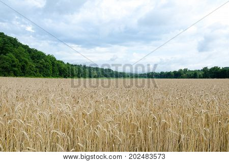 Hudson Valley New York Wheat field with Treed Catskill Mountains and a Dramatic Cloudy Sky.