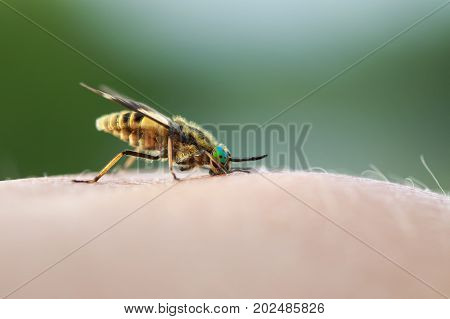 nasty insect gadfly stuck into the human skin and drink blood