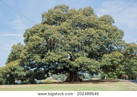 SYDNEY,NSW,AUSTRALIA-NOVEMBER 20,2016:  Enormous, lush fig tree with tourists at the Royal Botanic Gardens in Sydney, Australia