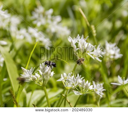 flying bees around ramsons blossoms in sunny ambiance