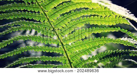 Fern Leaf In The Woods. Common Bracken. Summertime