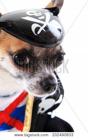 Small Chihuahua As Pirate Isolated