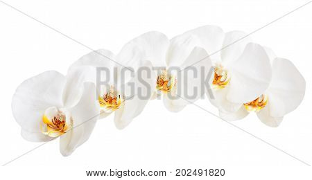 White orchids isolated on a white background.