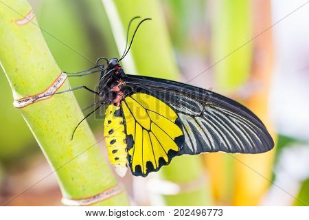 Male Golden Birdwing (troides Aeacus) Butterfly