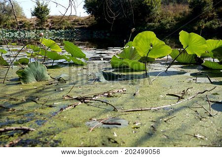 Lotus leaves on a lotuses field in a flood plain of the Volga River in the Volgograd region