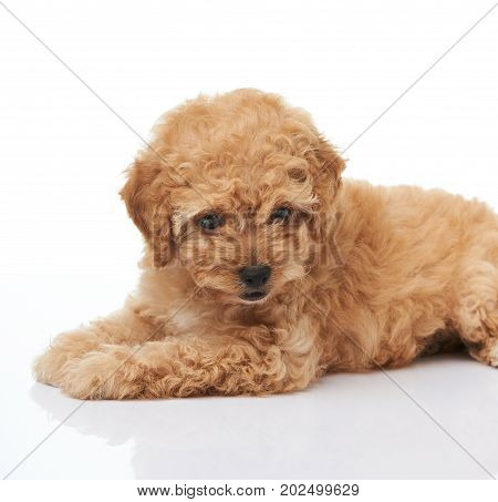 One cute poodle puppy laying isolated on white background