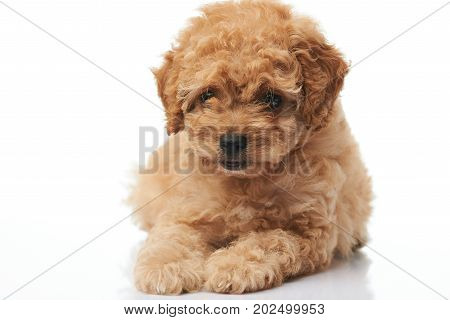 Close-up of brown puppy lay on white background isolated