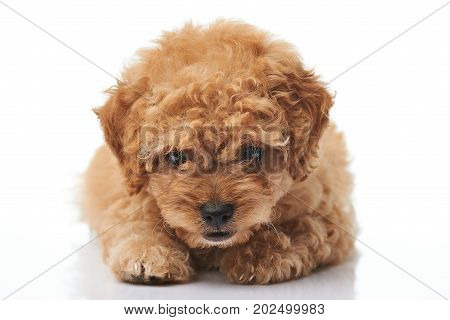 Close-up of laying poodle puppy isolated on white background