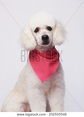 portrait of white poodle sit isolated on white background. Groomed young cute poodle dog