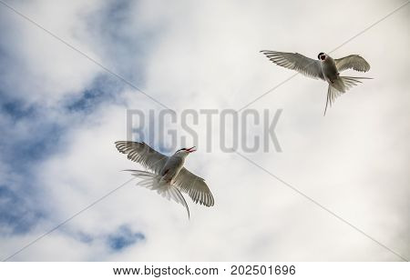 Arctic terns, Sterna Paradisaea, flying in the air with white clouds in the background. The birds are nesting in this area, and attacks when people get too close.