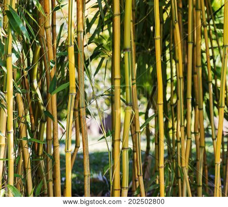 Fresh bamboo trees in forest a blurred background